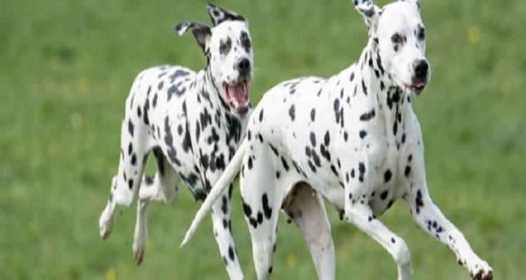 perros dalmata corriendo